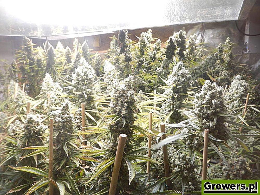 Amnesia Haze XL, Feminizowane, Nasiona Marihuany, Nasiona Konopi, Indoor, Zambeza Seeds