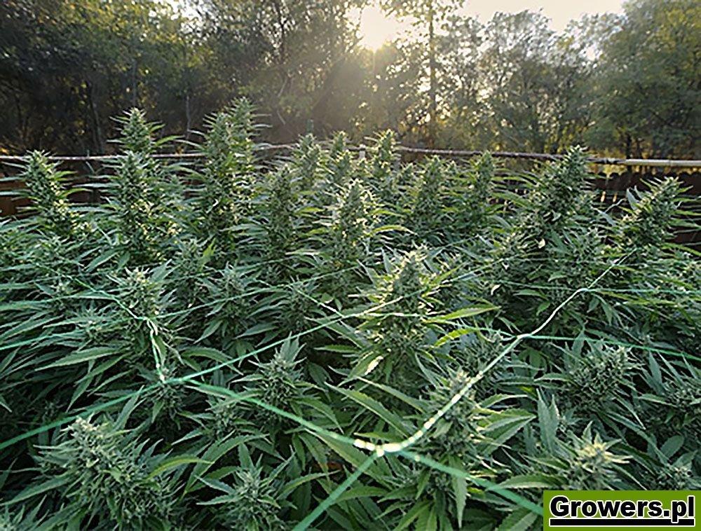 Big Tooth, Feminizowane, Nasiona Marihuany, Nasiona Konopi, Outdoor, Green House Seeds