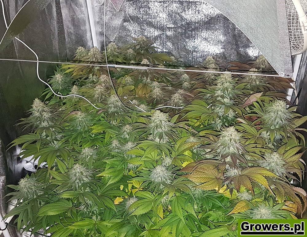 Bubble Kush, Feminizowane, Nasiona Marihuany, Nasiona Konopi, Indoor, Royal Queen Seeds
