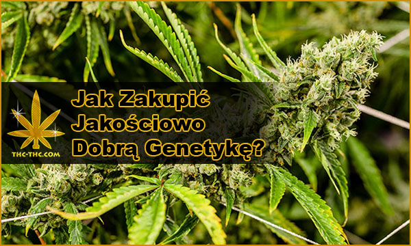 Nasiona Marihuany, Konopi, Dobra, Genetyka