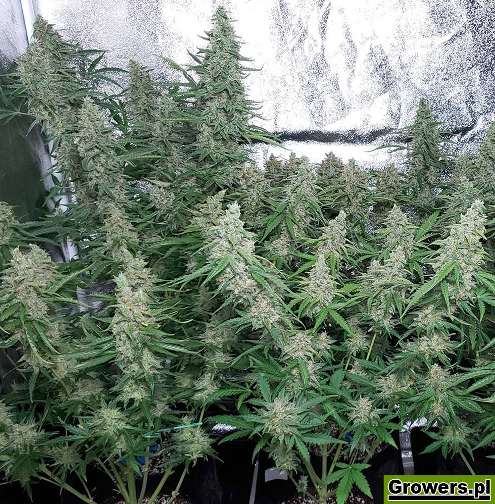 Easy Plant XXL, Automatic, Feminizowane, Nasiona Marihuany, Nasiona Konopi, Akseeds