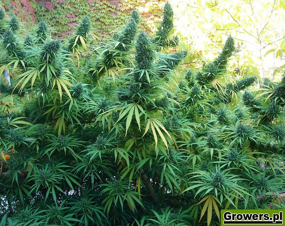 Green Bud, Feminizowane, Nasiona Marihuany, Nasiona Konopi, Outdoor, Akseeds