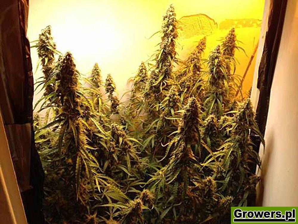 Jack Herer, Feminizowane, Nasiona Marihuany, Nasiona Konopi, Indoor, Green House Seeds