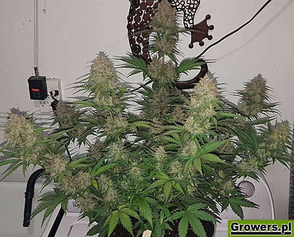 Lowres#2, Automatic, Feminizowane, Nasiona Marihuany, Nasiona Konopi, THC-THC