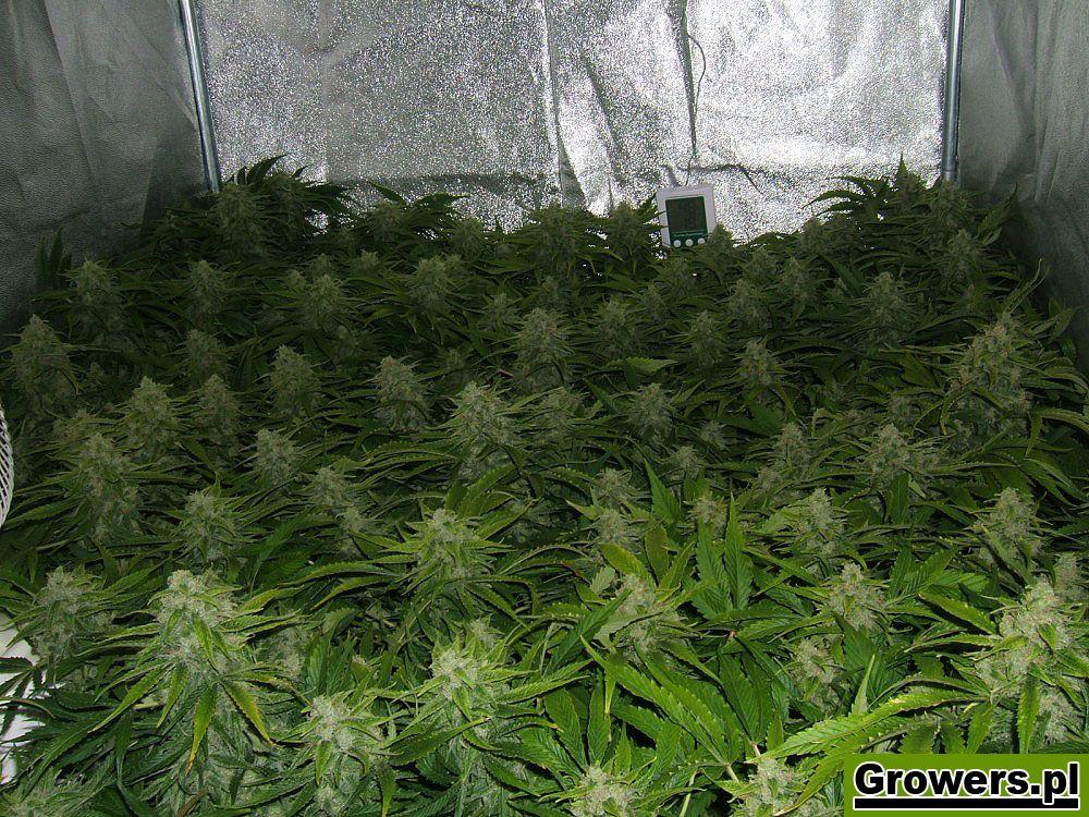 Mazar, Feminizowane, Nasiona Marihuany, Nasiona Konopi, Indoor, Dutch Passion