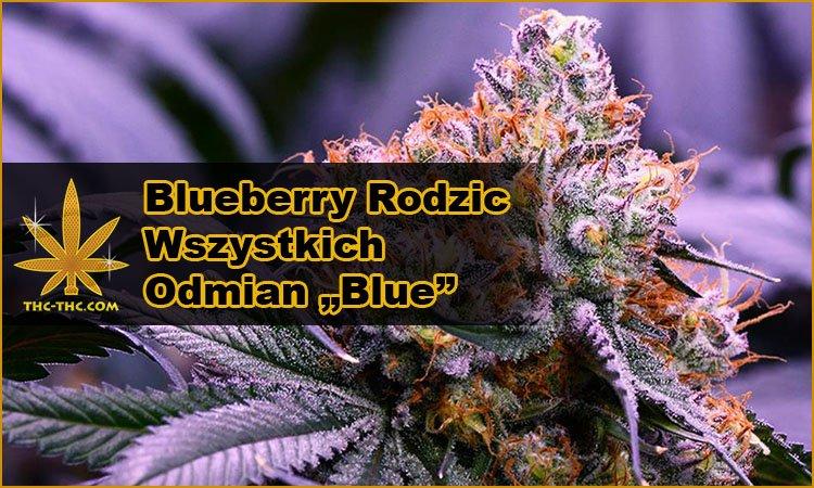 Nasiona, Konopi, Odmiany, Hybrydy, Blueberry, Blue