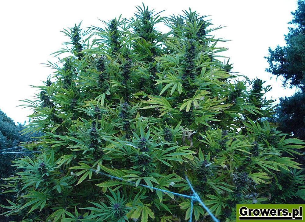 Shaman, Feminizowane, Nasiona Marihuany, Nasiona Konopi, Outdoor, Dutch Passion
