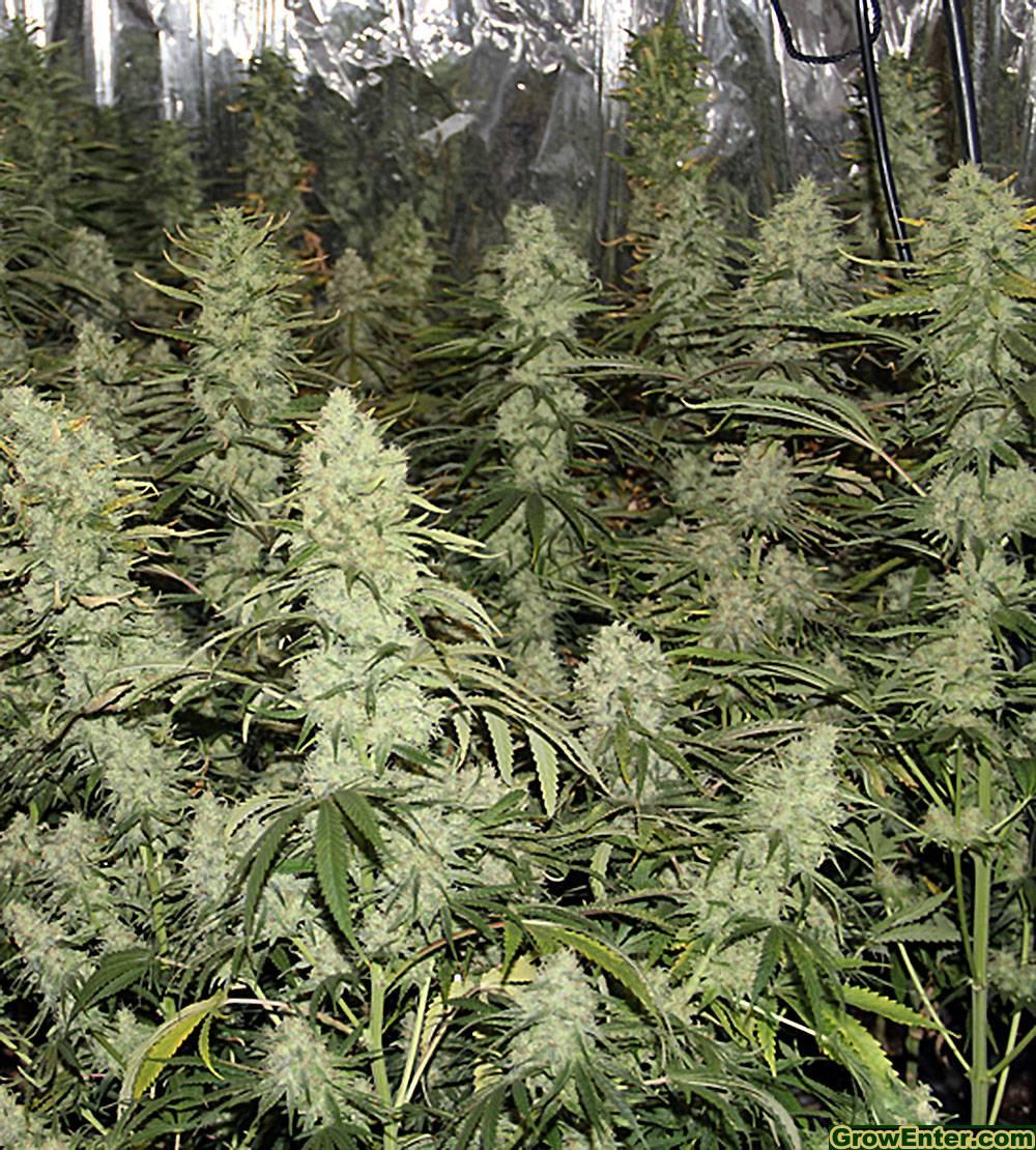 Strong Berry, Feminizowane, Nasiona Marihuany, Nasiona Konopi, Indoor, Akseeds
